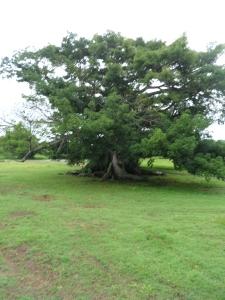 The Ceiba tree