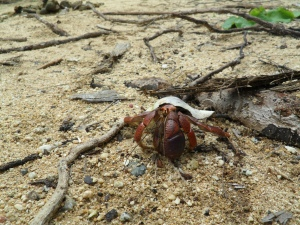 We saw hundreds of these little crabs,